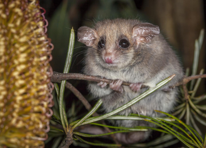 hibernation pygmy possum