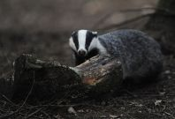 Badger in the woods