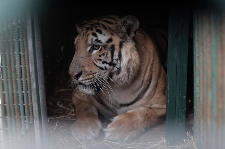 Laziz, Gaza's last tiger.