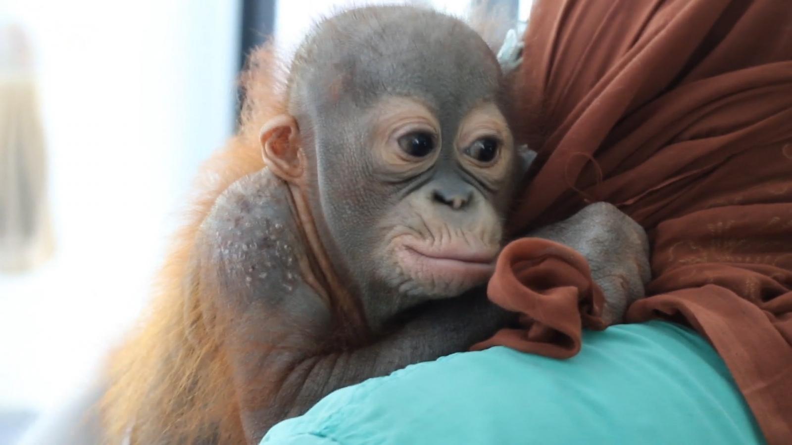 Baby orangutan has bullet removed