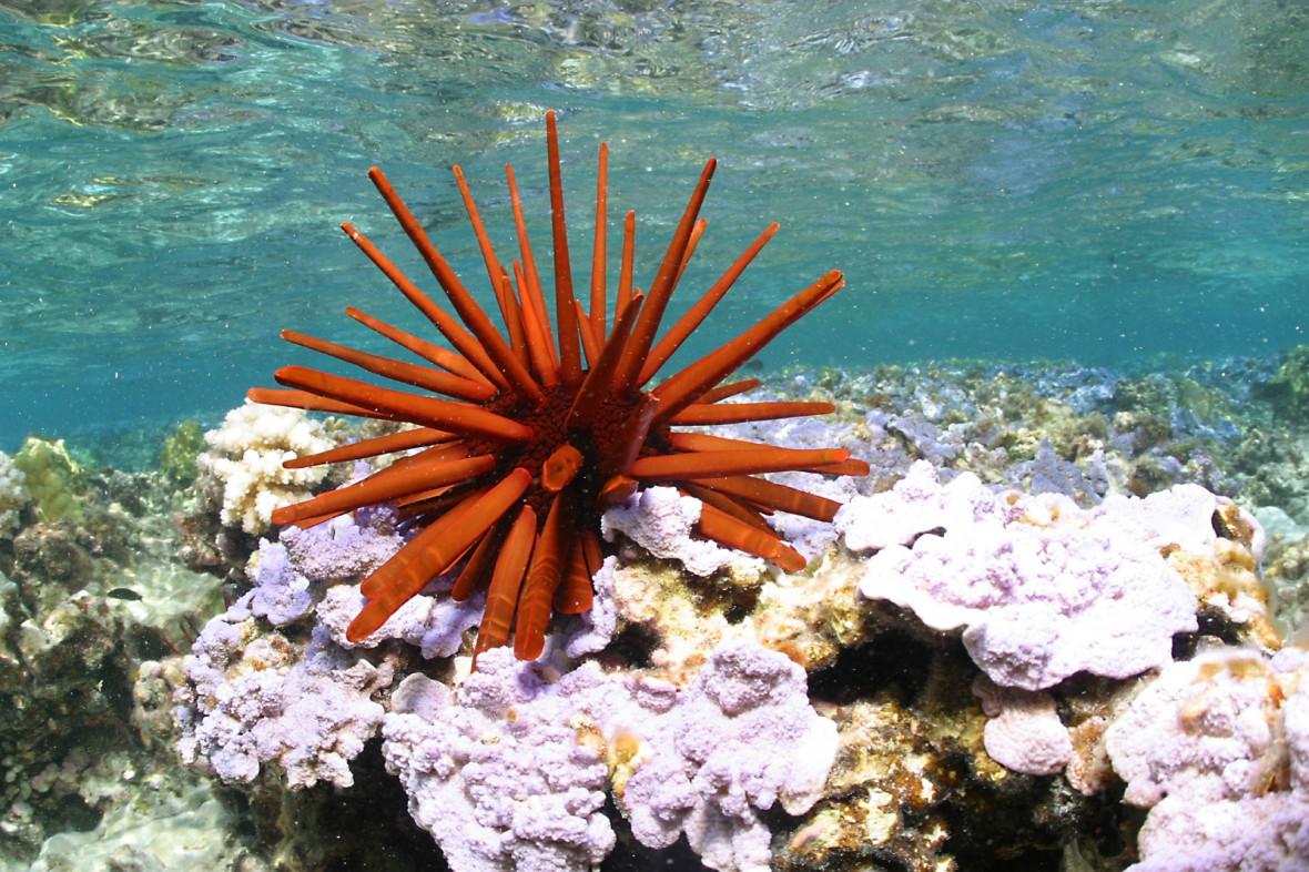 Papahānaumokuākea red pencil urchin