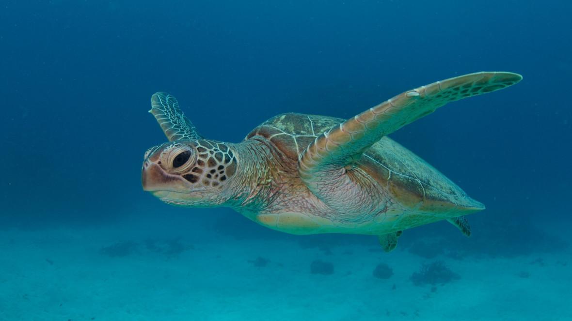 Papahānaumokuākea green turtle
