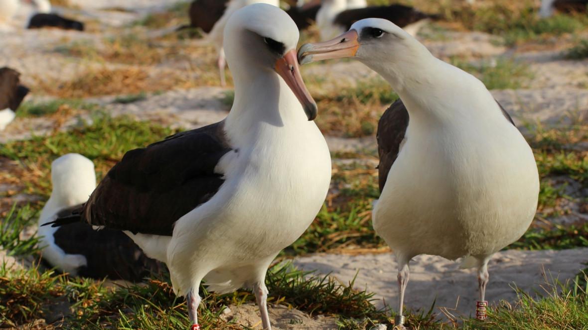 Papahānaumokuākea Laysan albatrosses