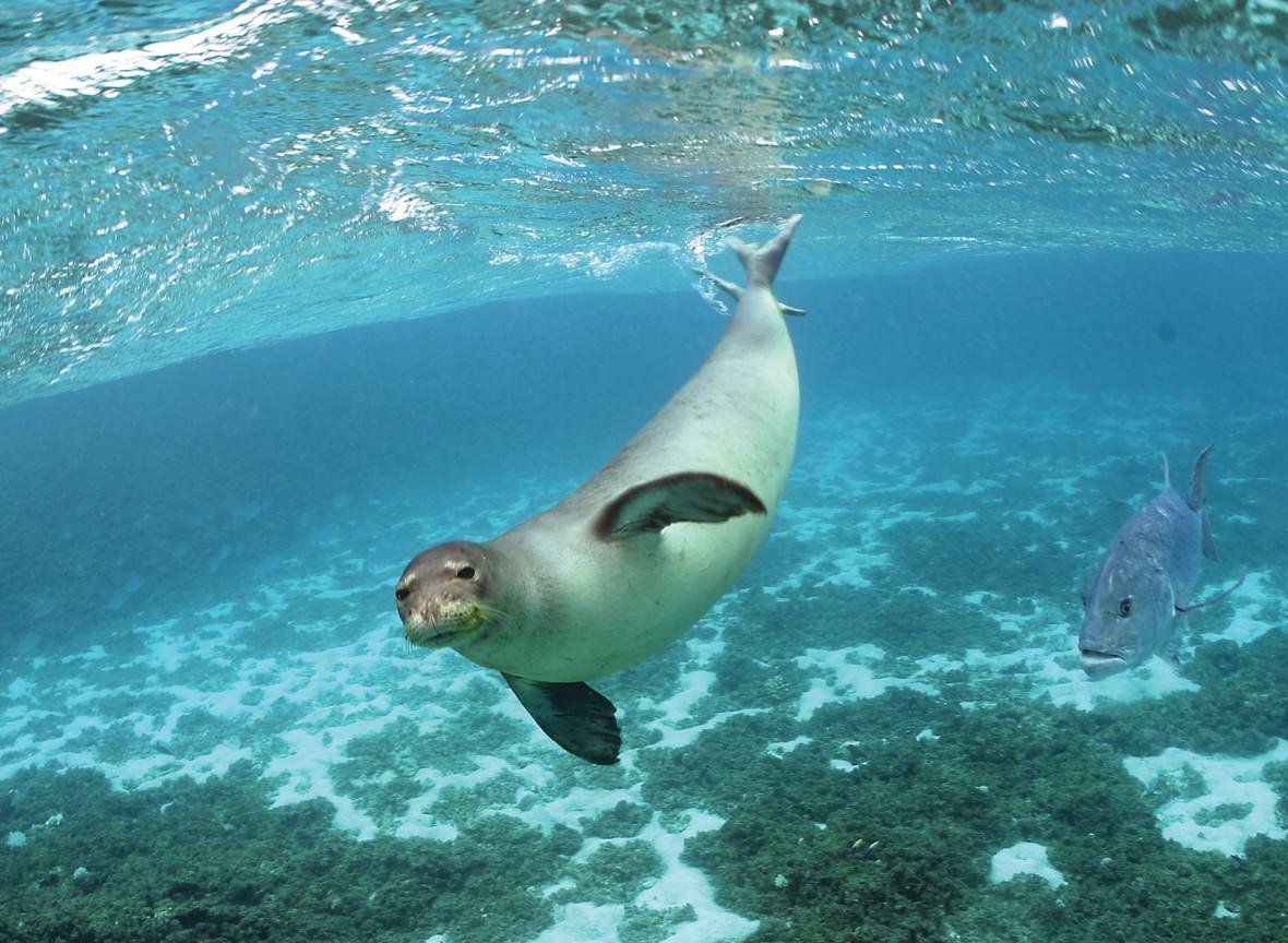 Papahānaumokuākea Hawaiian monk seal