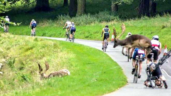 Stag collision