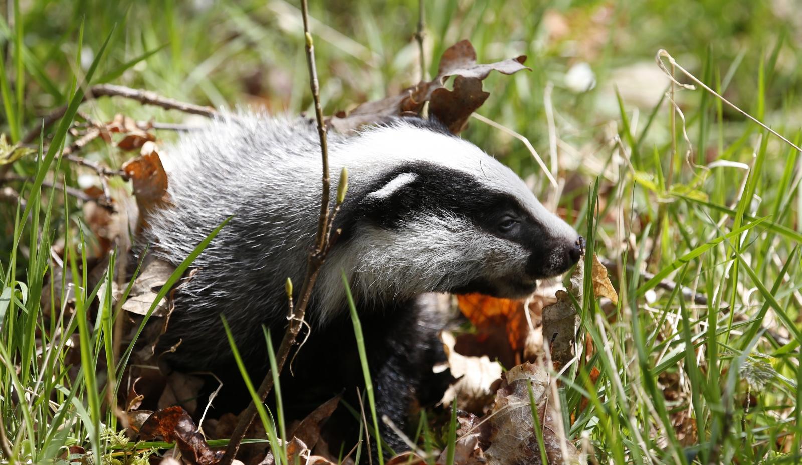 Badger in Scotland
