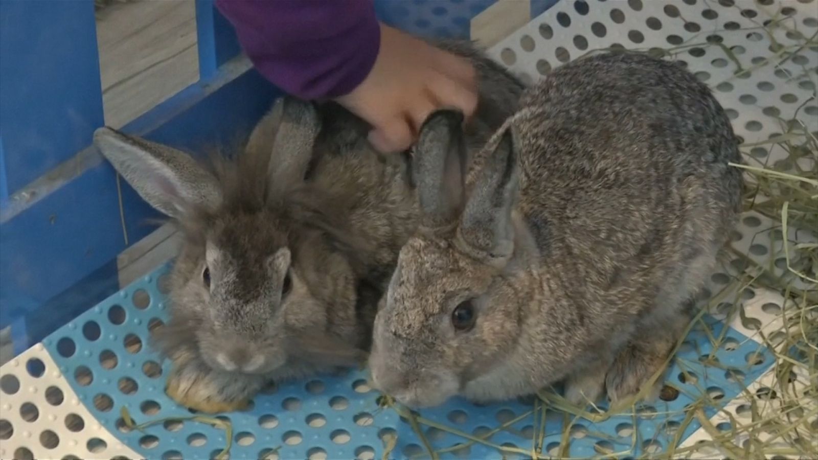 Hong Kong opens first rabbit cafe