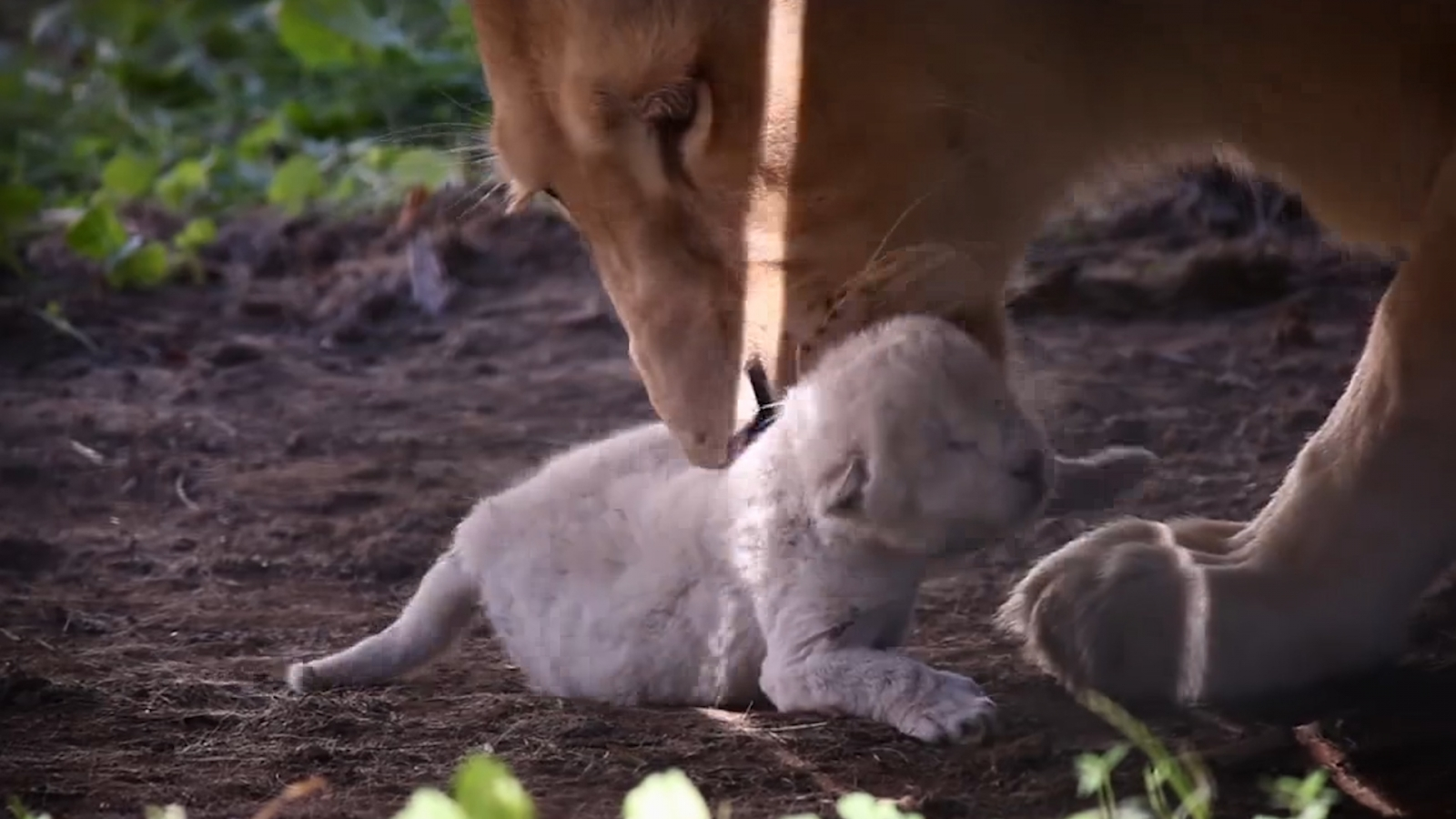 White lion cub born at Hungarian zoo