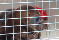 Tiny seal doesn't want to be released back into the wild