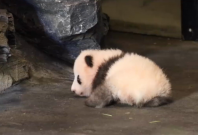 Cute baby panda takes his first steps and poll to name him is released
