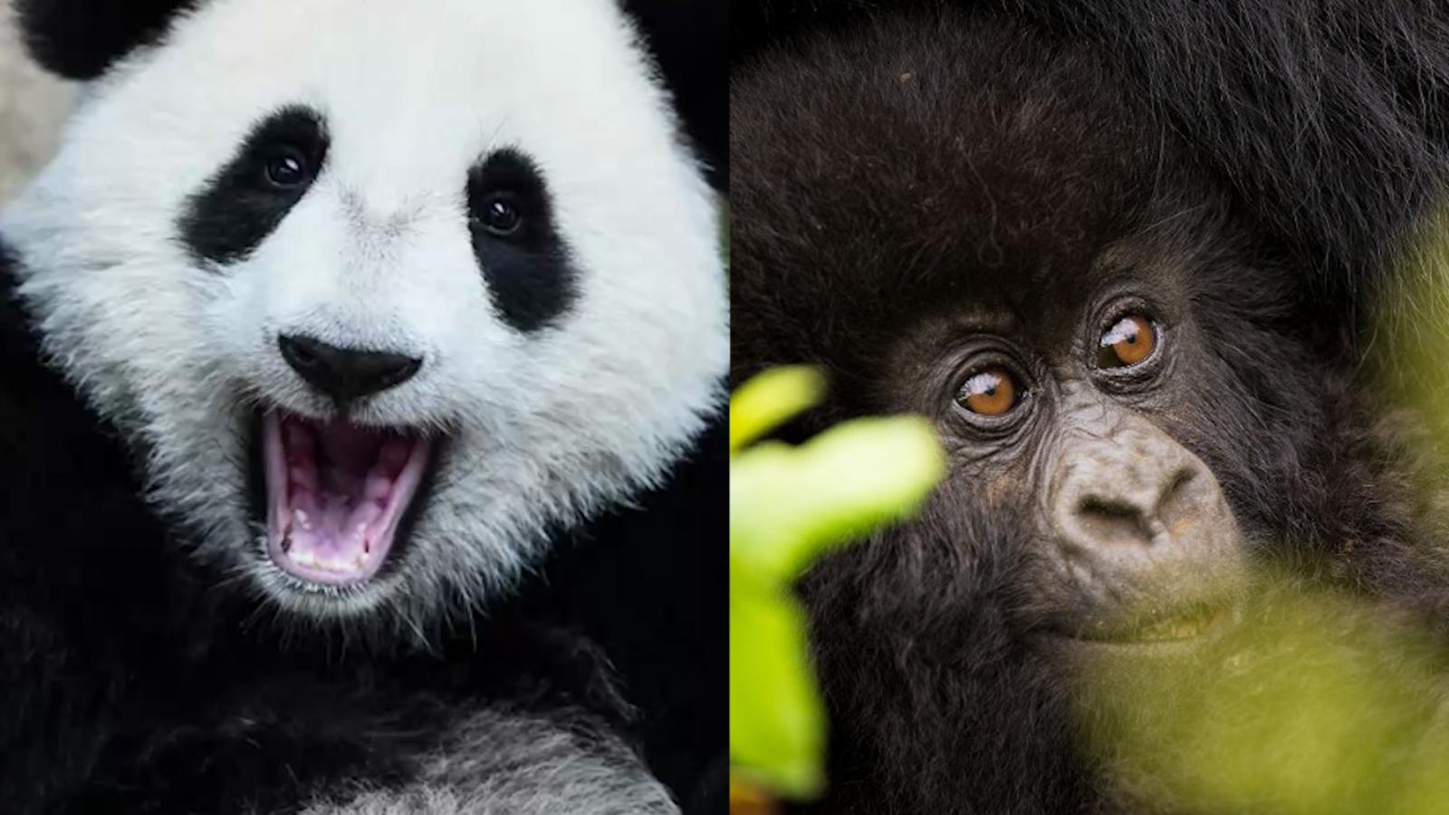 Panda Gorilla