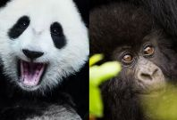 panda and gorilla