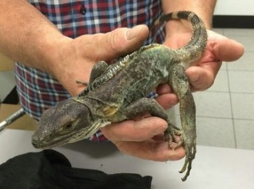 One of the smuggled reptiles