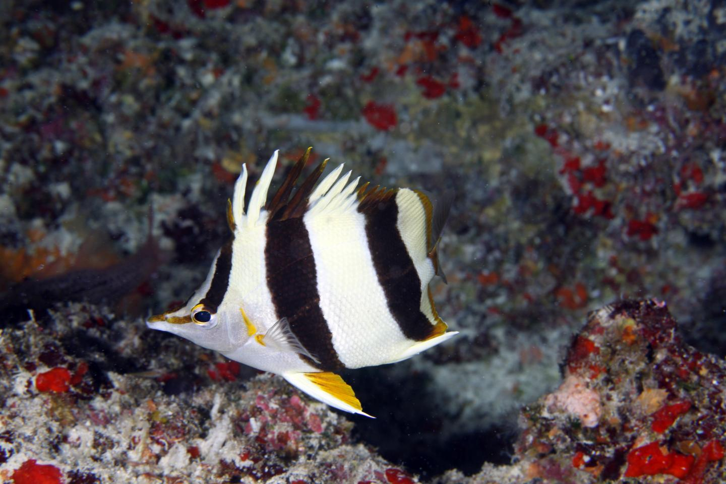 New butterflyfish species