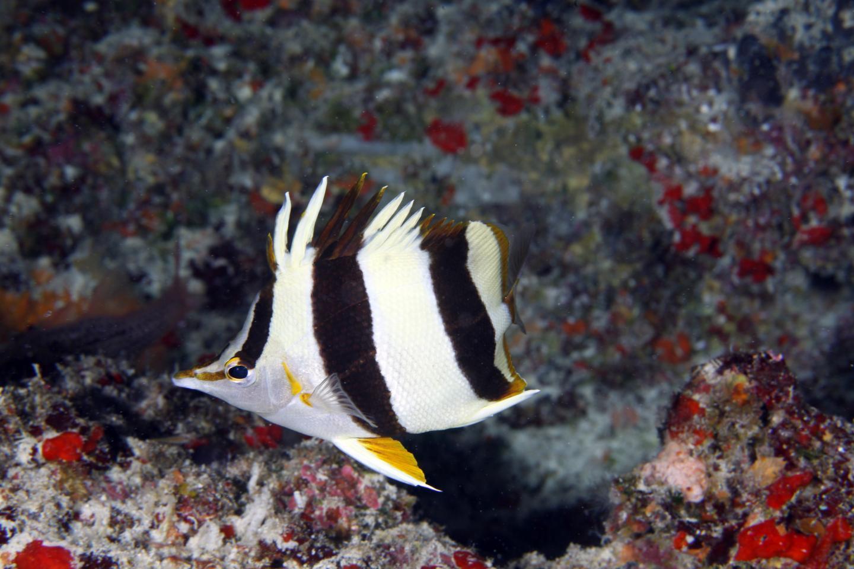 New butterflyfish species