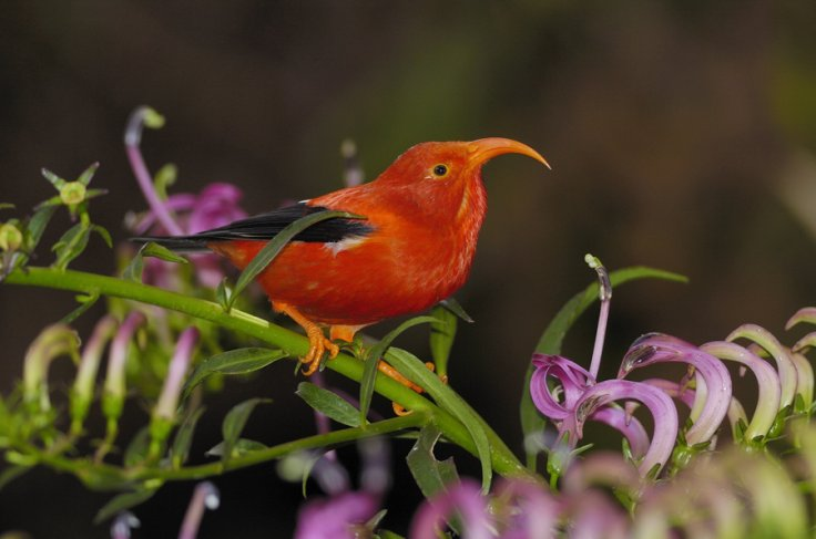 'I'iwi hawaii bird