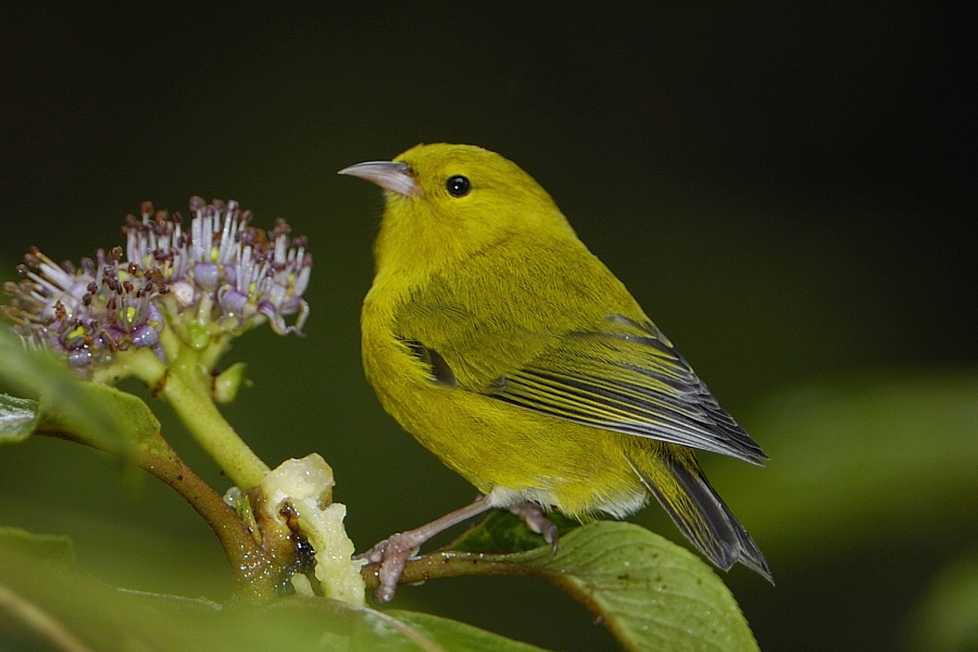 'Anianiau hawaii bird