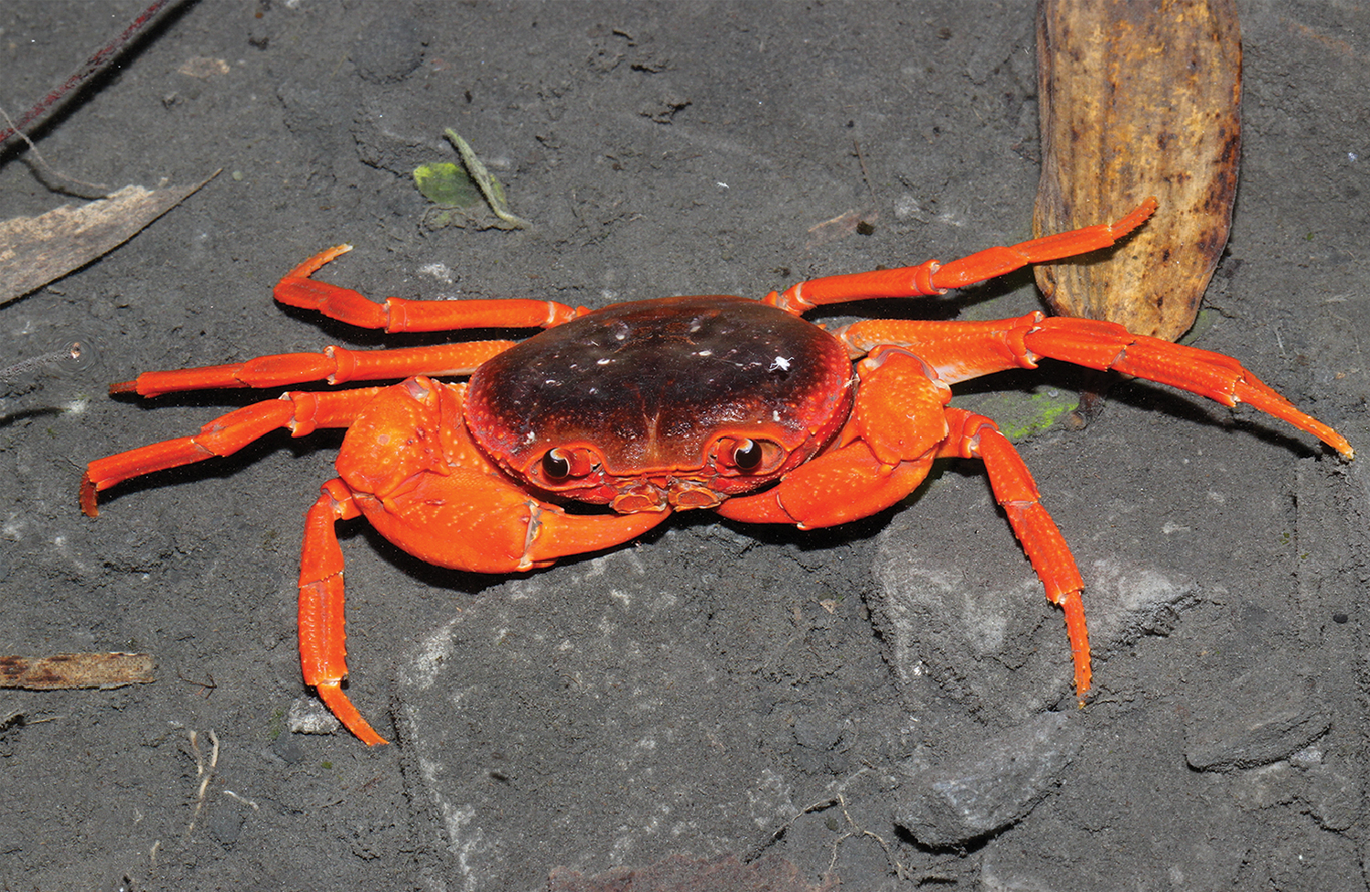New crab species (Yuebeipotamon calciatile)