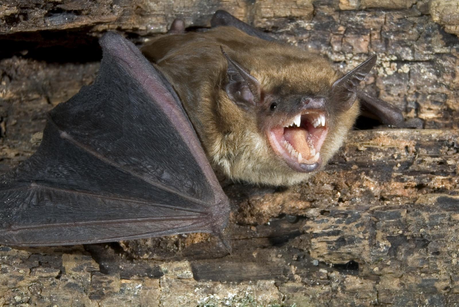 big brown bat echolocation