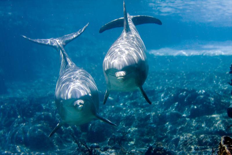 bottlenose dolphin conversation