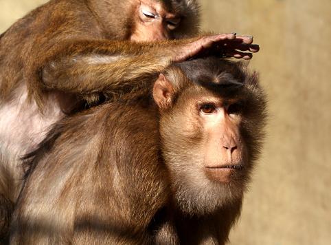 Zika virus macaque