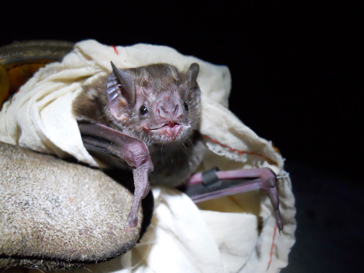 Vampire bat rabies outbreak