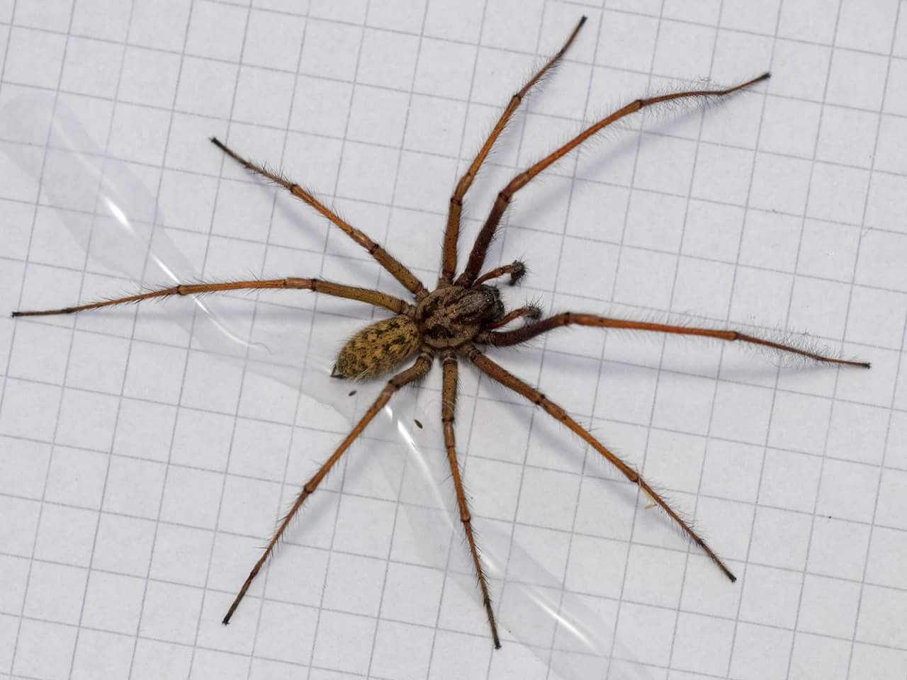 Eratigena atrica - the European House Spider