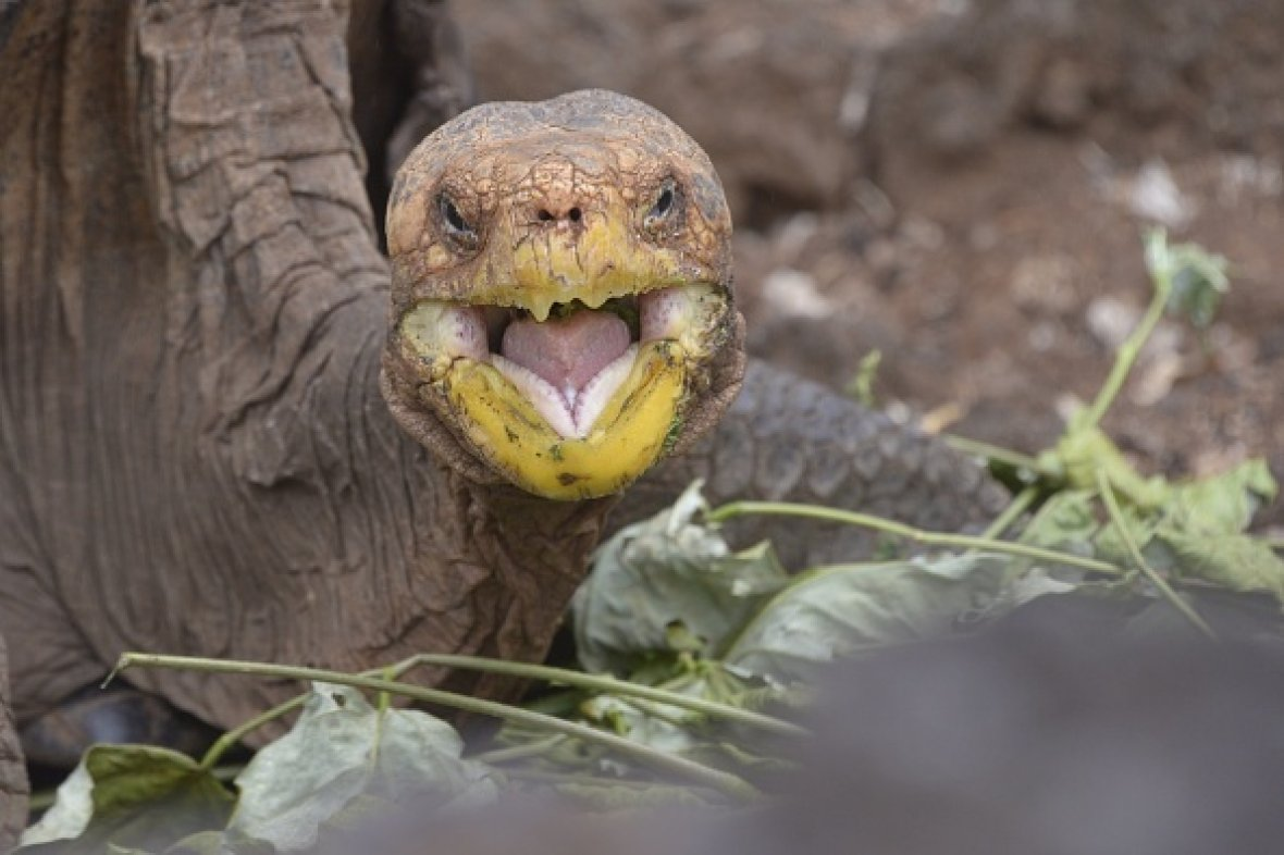 Diego the tortoise