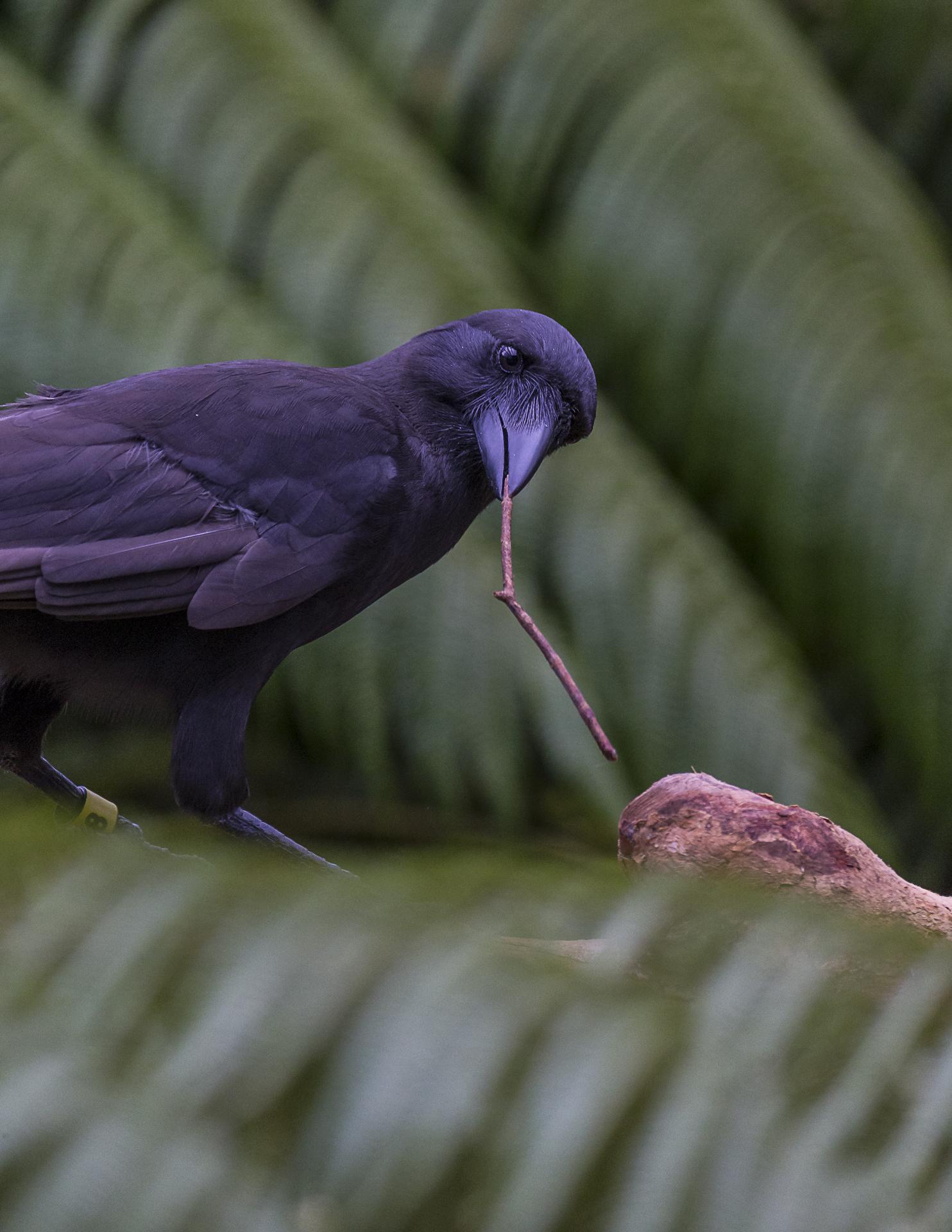 alala crow and tools