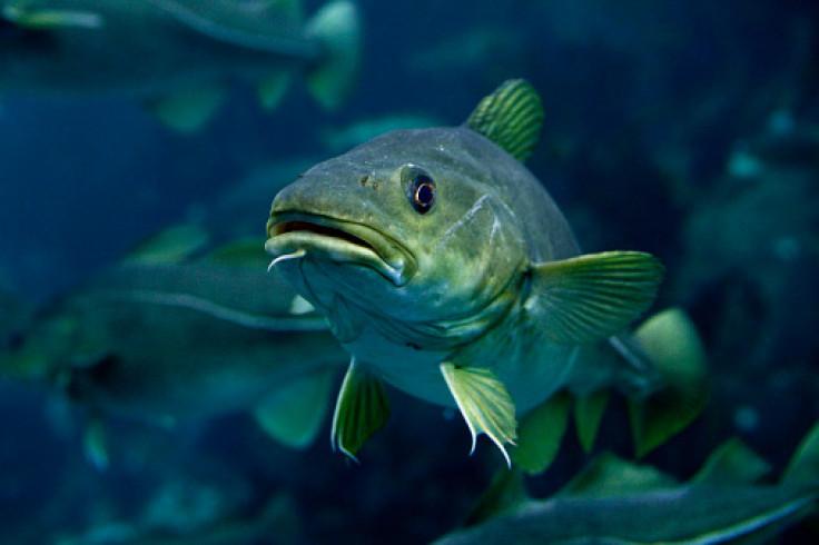 cod marine animal