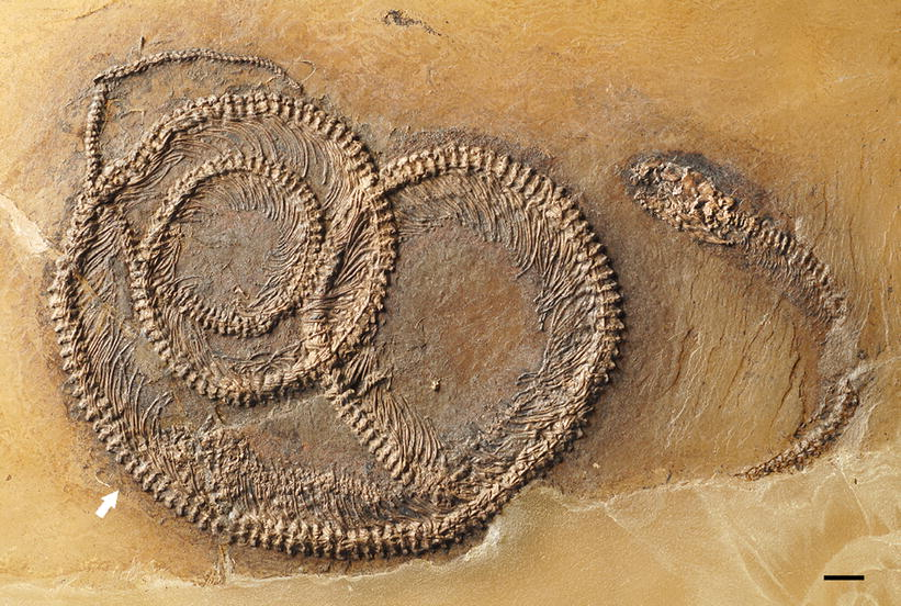 fossil in a fossil