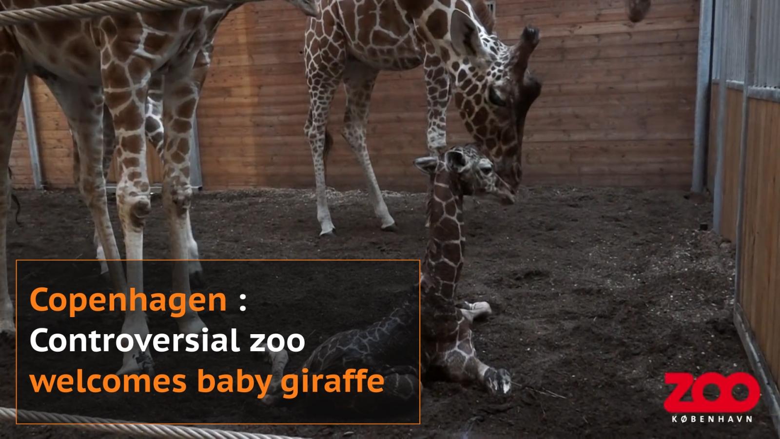Baby giraffe born in Copenhagen zoo