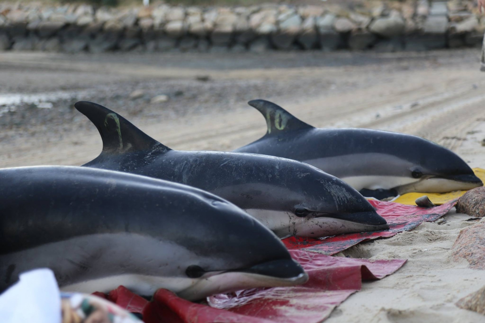 Beached dolphins - photo#27