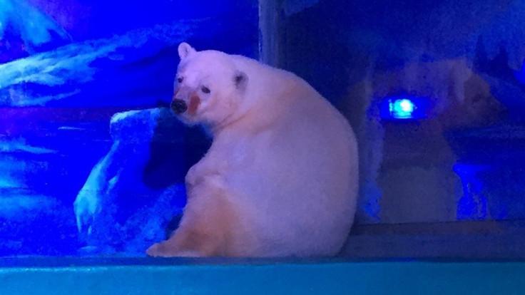 Pizza the polar bear called the 'world's saddest bear'