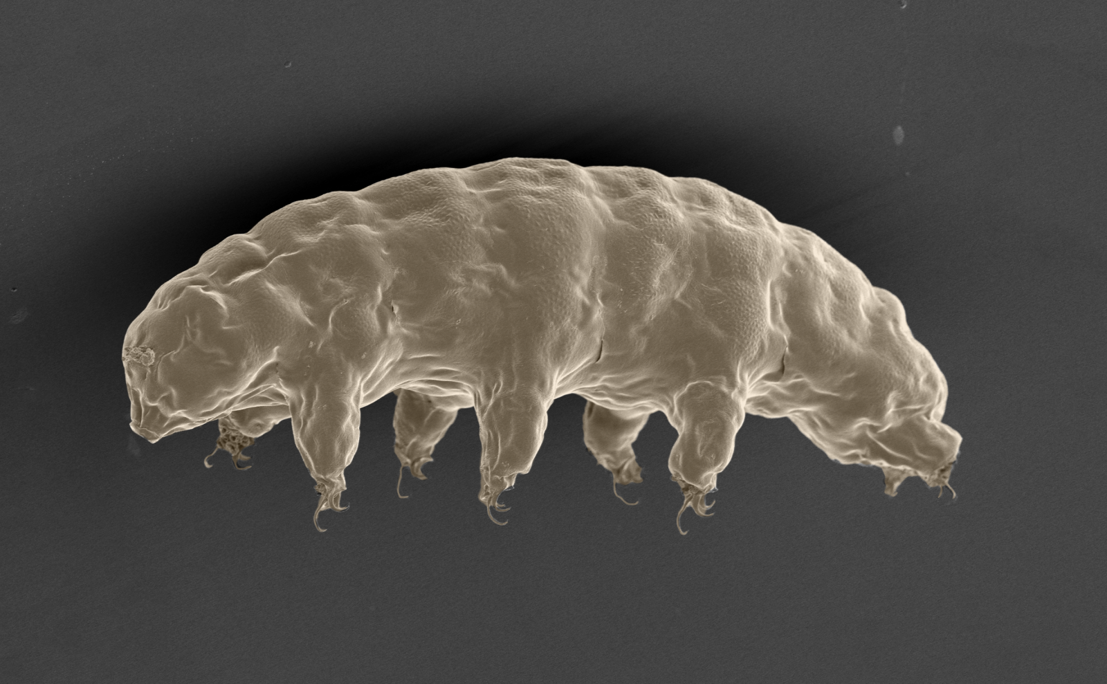 tardigrade genome