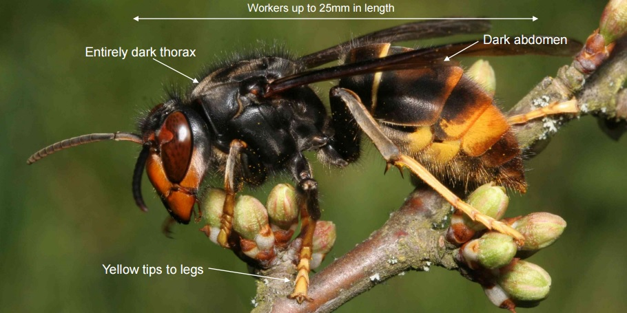 asian hornet in uk