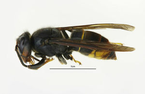 asian hornet in gloucestershire