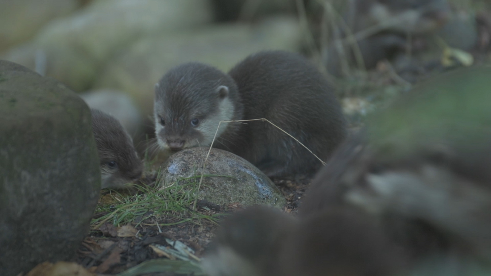 Baby otters have their first swimming lesson