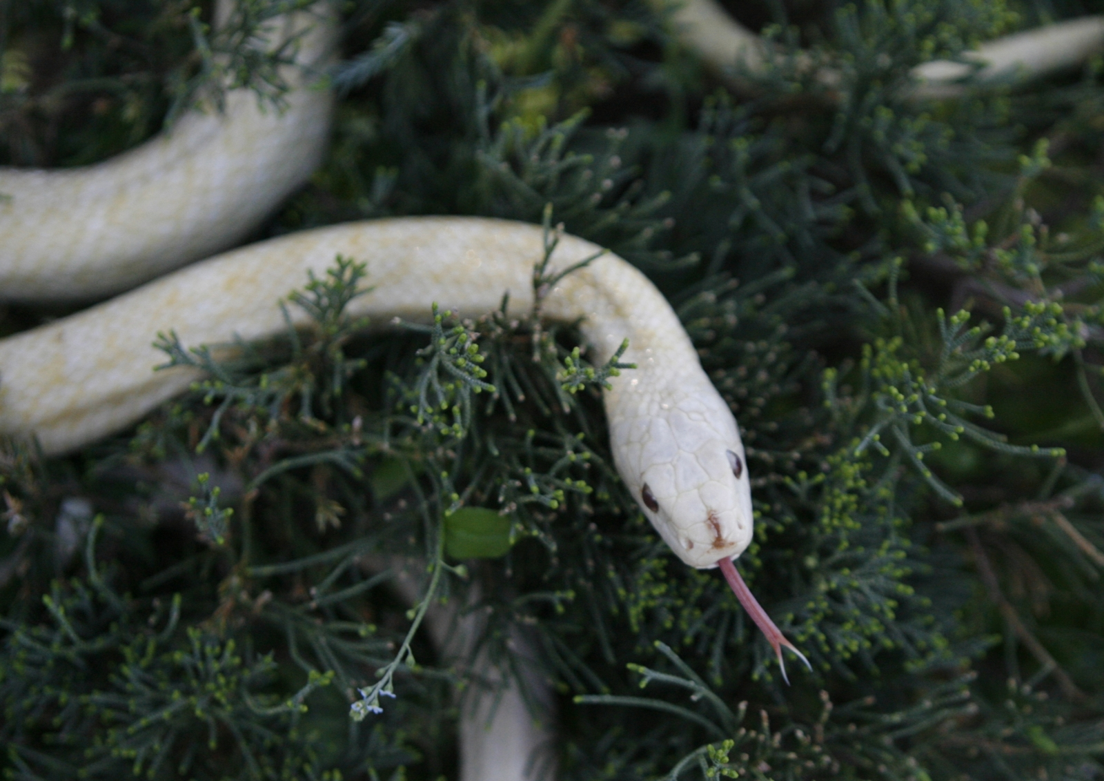 An albino Japanese rat snake