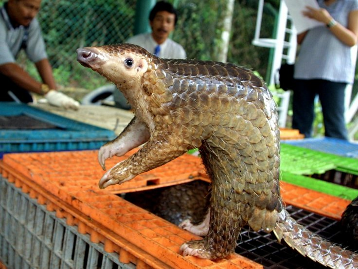 Rescued pangolin in Malaysia