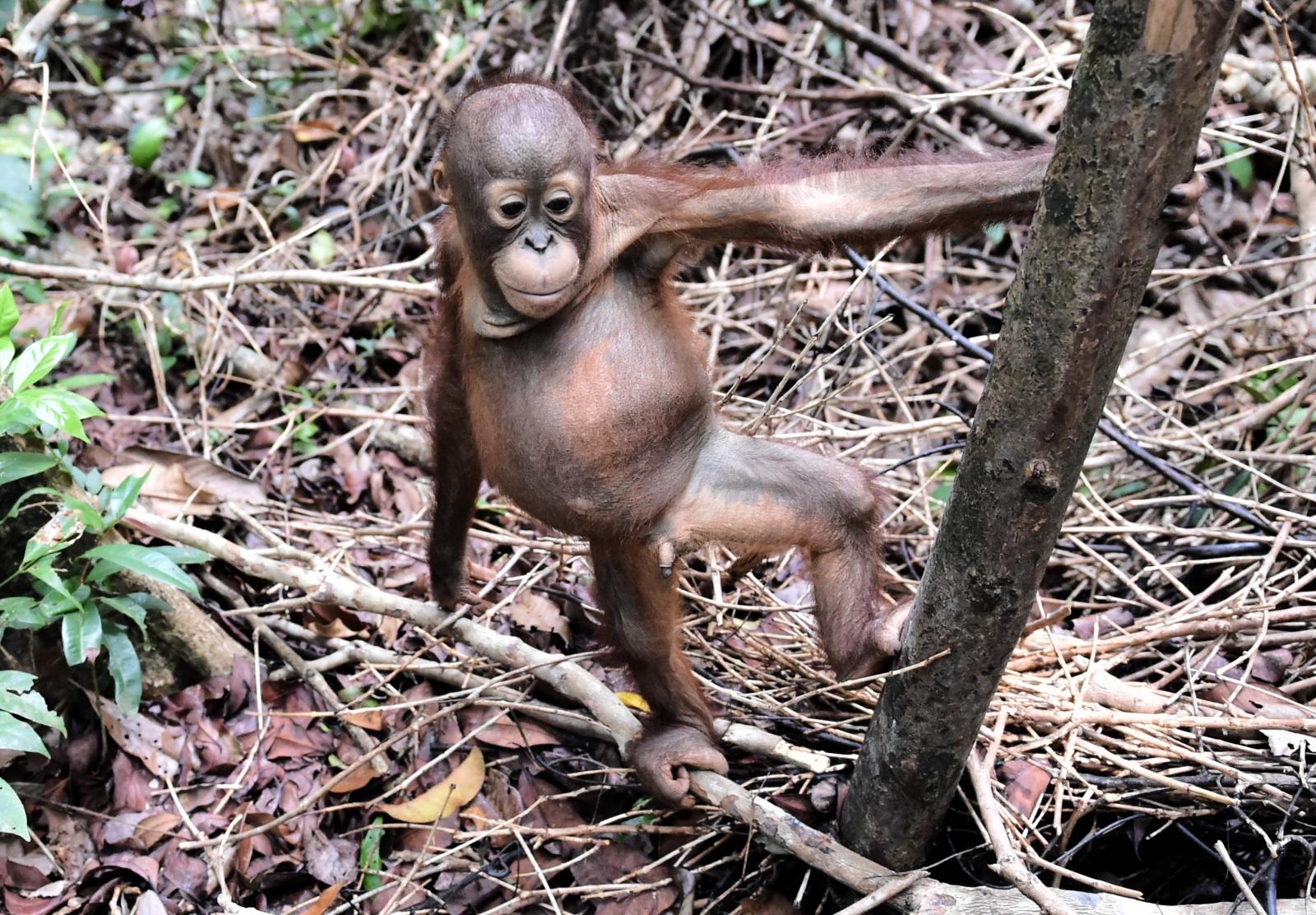 borneo deforestation orangutan