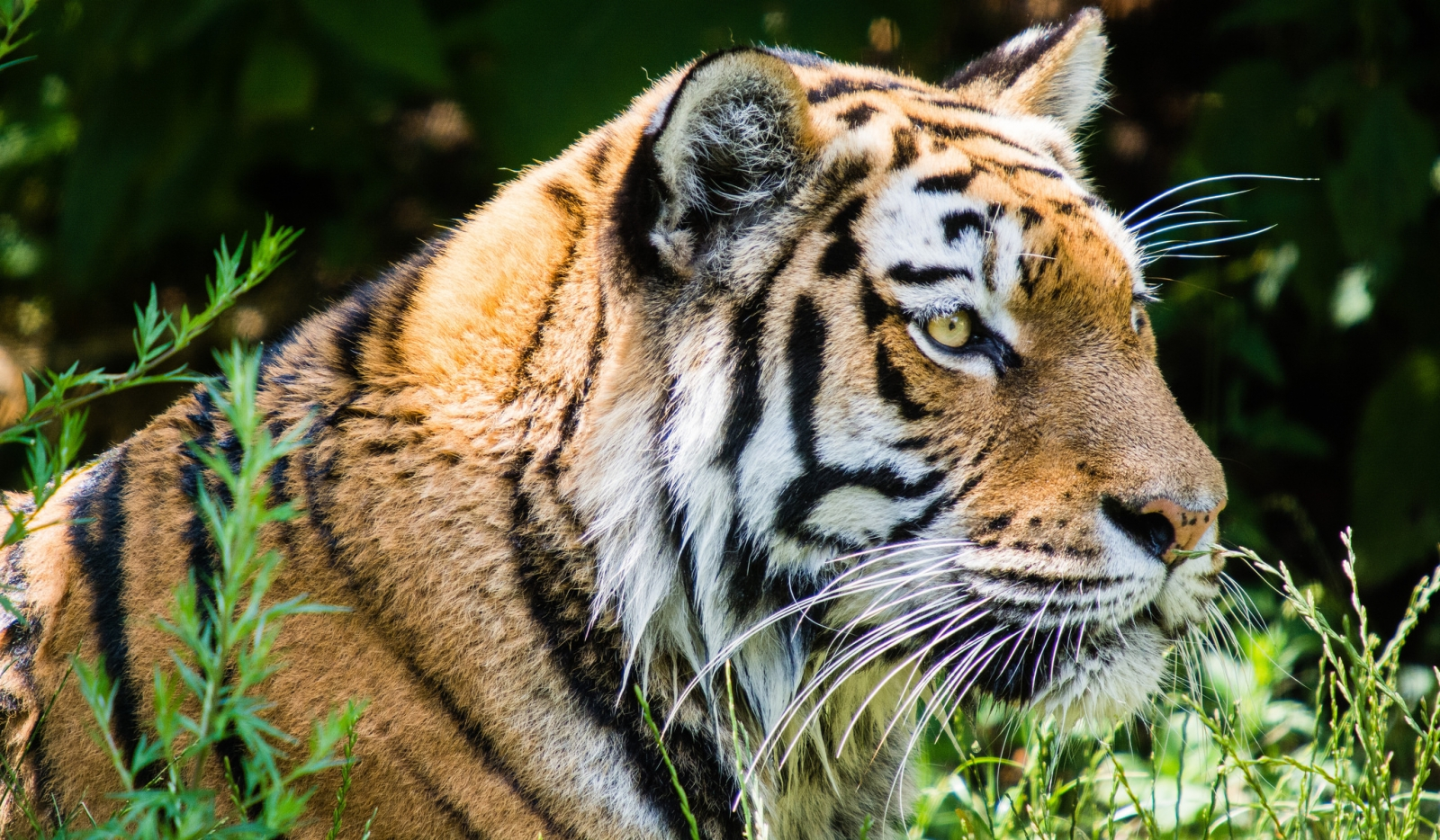 Tiger trade: Trafficking and killing of tigers show no ...