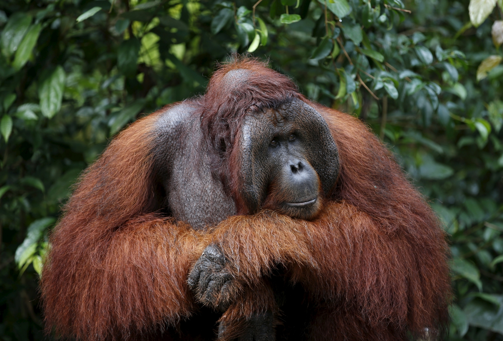 orangutan theory of mind