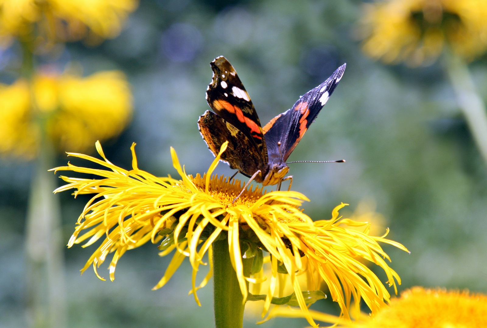 A red admiral butterfly collecting nectar