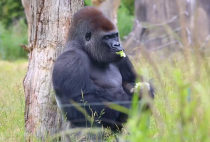 Gorilla escaped from London zoo had been returned safely