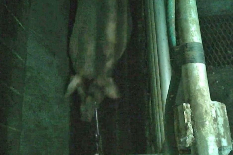 Pig abattoir