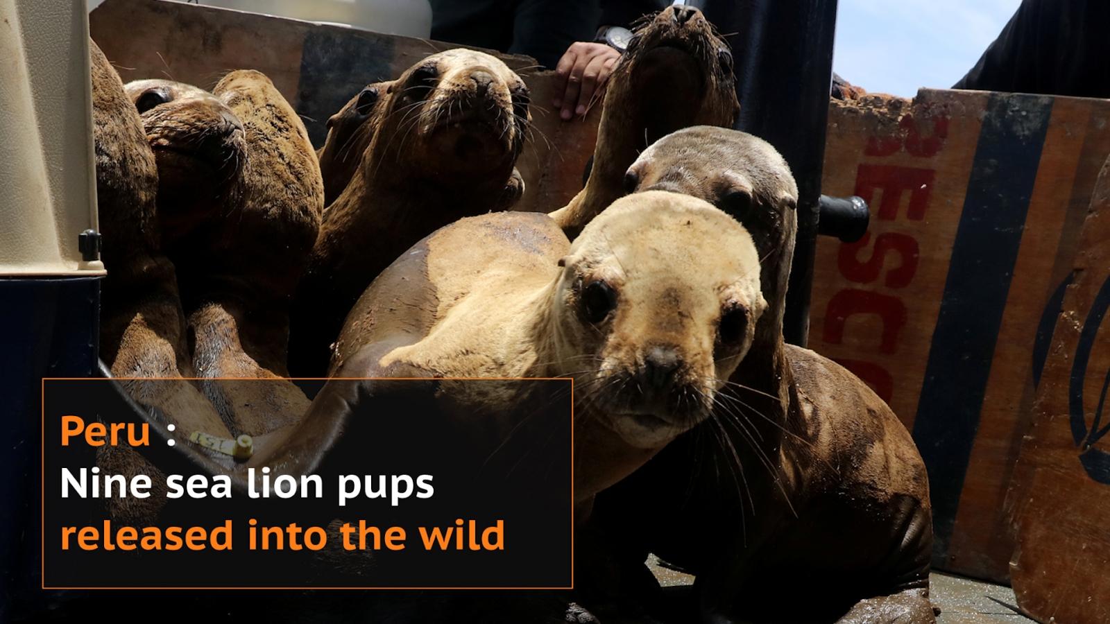 Nine sea lion pups released in Peru