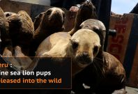 Nine sea lion pups released in Peru