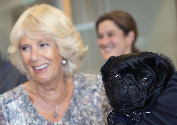 Camilla meets peanut, the pug