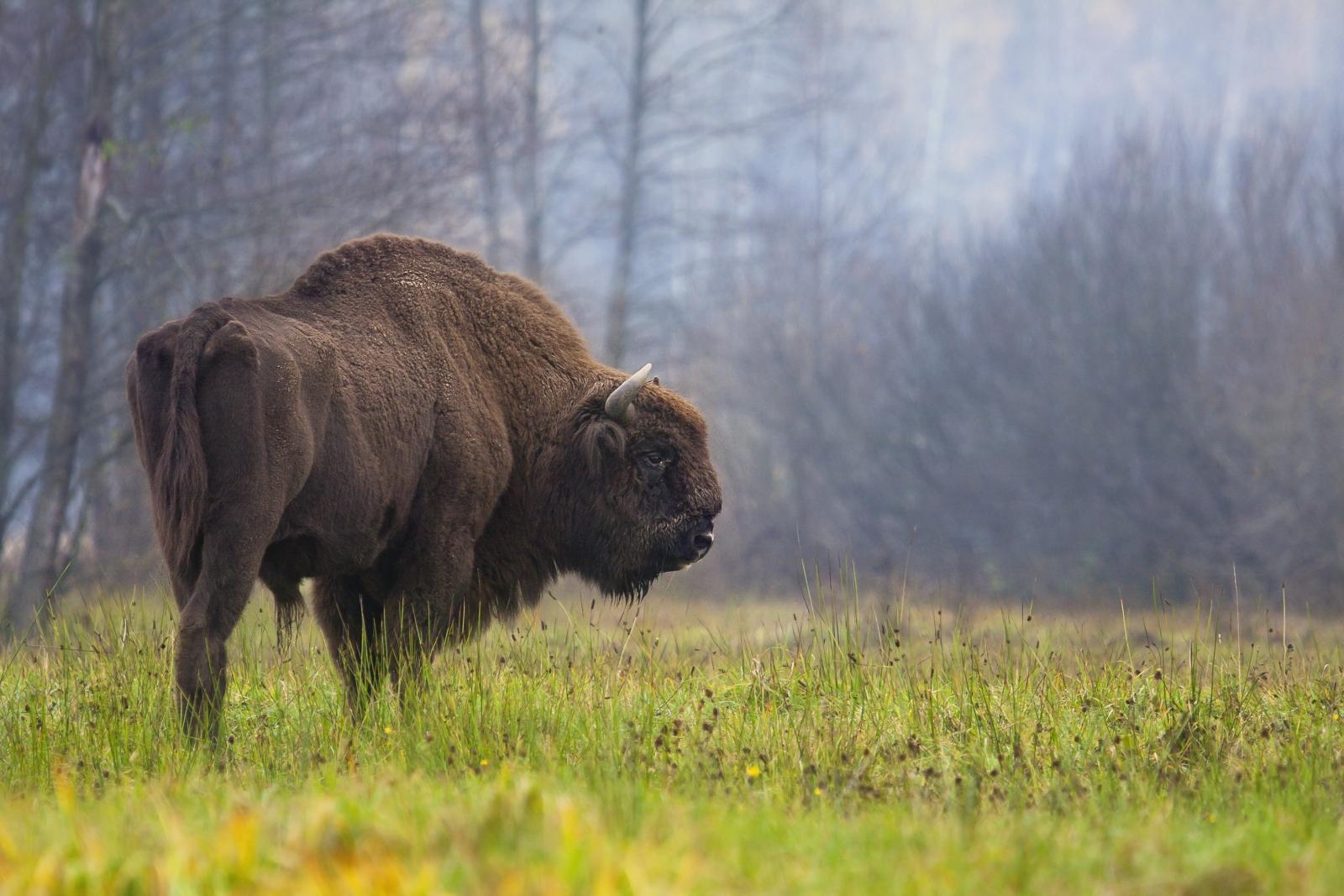 bison art